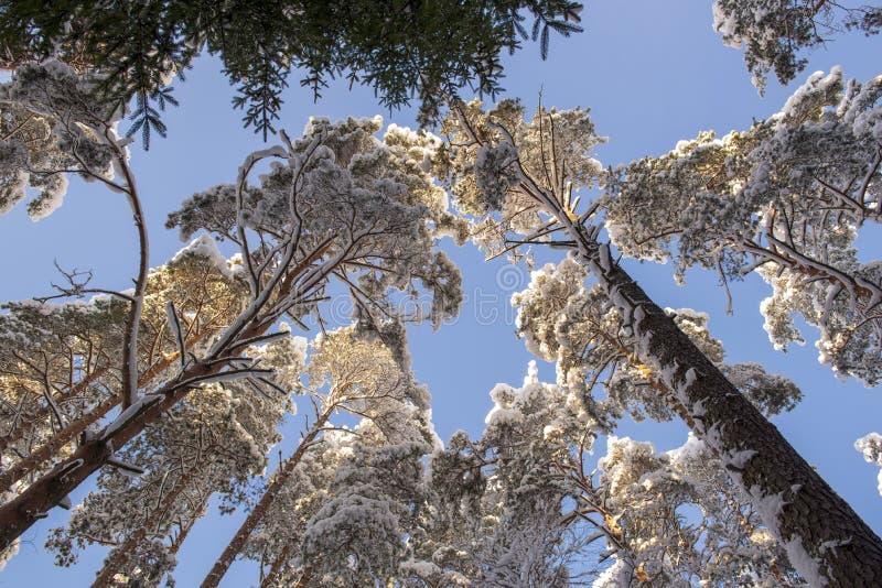 Wierzchołki śnieżyści drzewa, od podstaw widok przeciw niebieskiemu niebu, zdjęcia stock