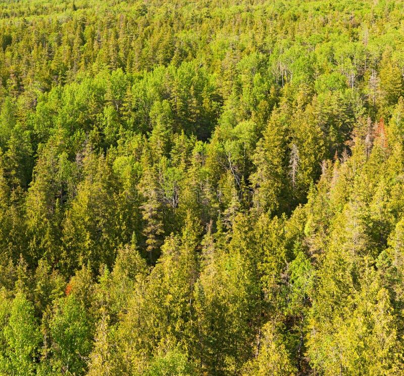 wierzchołki drzew na zdjęcie stock