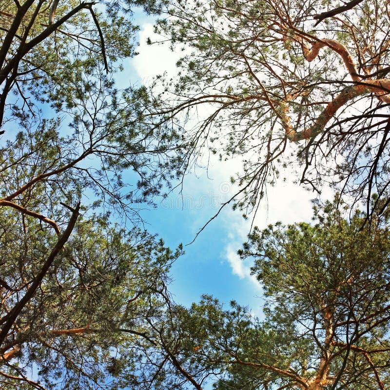 Wierzchołki owocowi drzewa przeciw niebieskiemu niebu zdjęcie stock