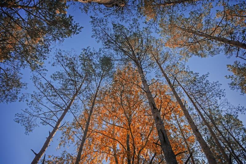 Wierzchołki sosny i brzozy przeciw niebu w jesieni zdjęcie stock