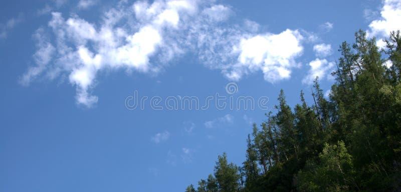 Wierzchołki wysokie sosny przeciw błękitnemu chmurnemu niebu Krajobraz zdjęcie stock