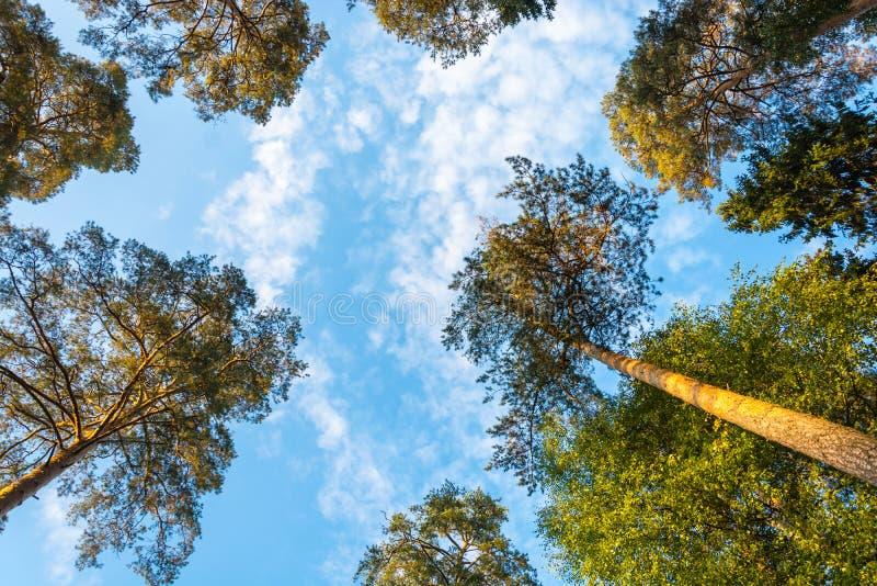 Wierzchołki wysokie sosny przeciw błękitowi niebo obrazy stock