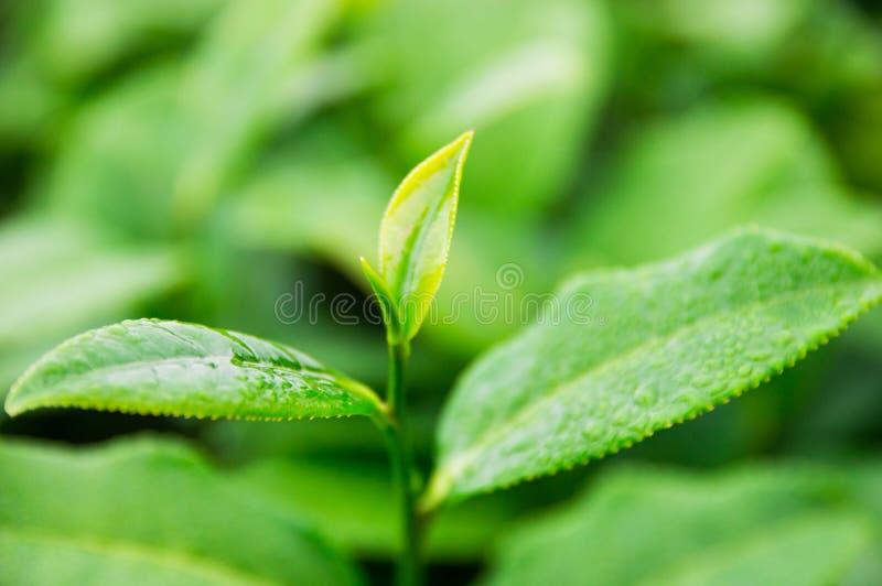 Wierzcho?ek herbaciani li?cie w gospodarstwie rolnym obrazy stock