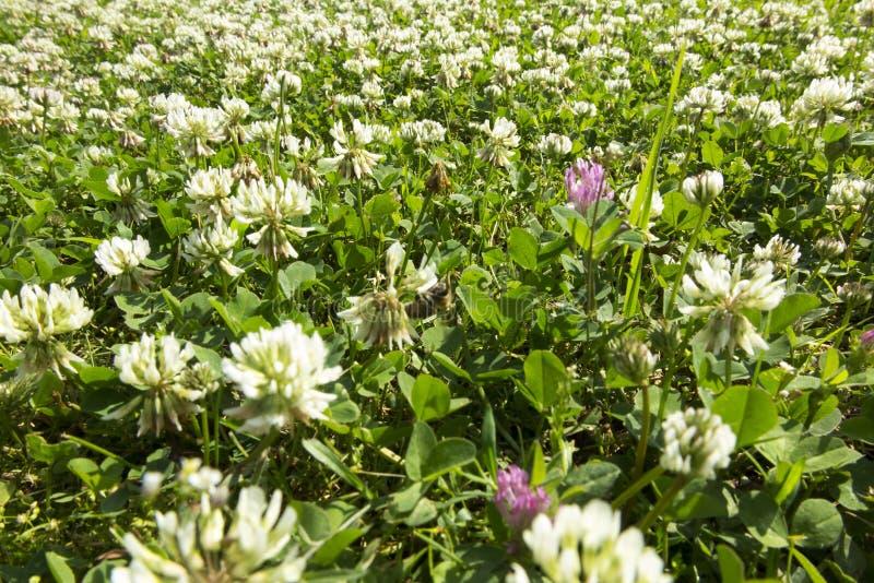 Wiese überwältigt mit junger Weißklee des Grases größtenteils stockfotos