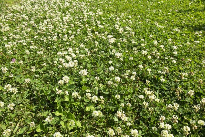 Wiese überwältigt mit junger Weißklee des Grases größtenteils lizenzfreie stockbilder