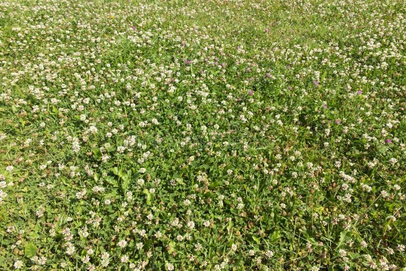 Wiese überwältigt mit junger Weißklee des Grases größtenteils lizenzfreie stockfotografie