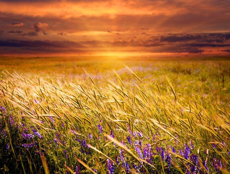 Wiese auf Sonnenunterganghintergrund stockbilder
