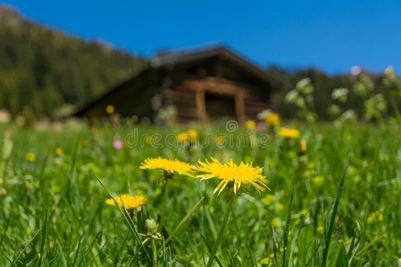 Wiese blüht im Vordergrund und im Hintergrund eine alte Scheune stockfotografie