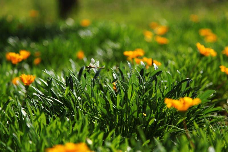 Wiese der schönen orange Blumen und der Libelle lizenzfreies stockfoto