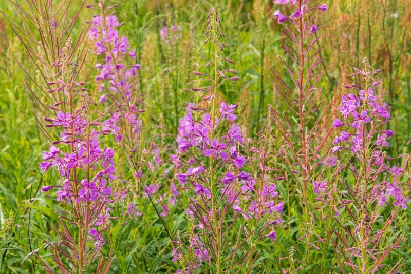 Wiese des Blütenweidekrauts Feld von rosa blühenden Sallyblumen stockfotos