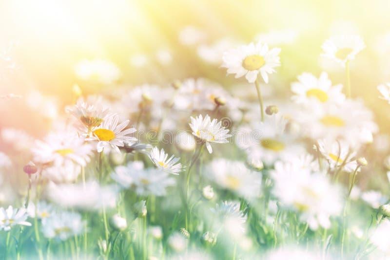 Wiese des Gänseblümchens im Sonnenlicht gebadet stockfotos