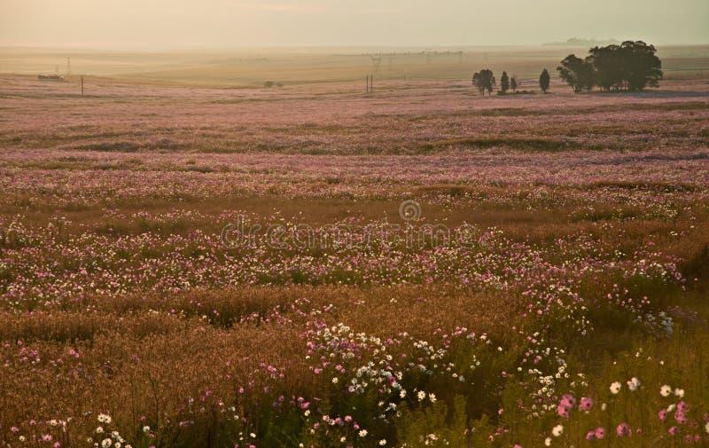 Wiese des Kosmos in der Blüte auf der Landschaft stockfotografie