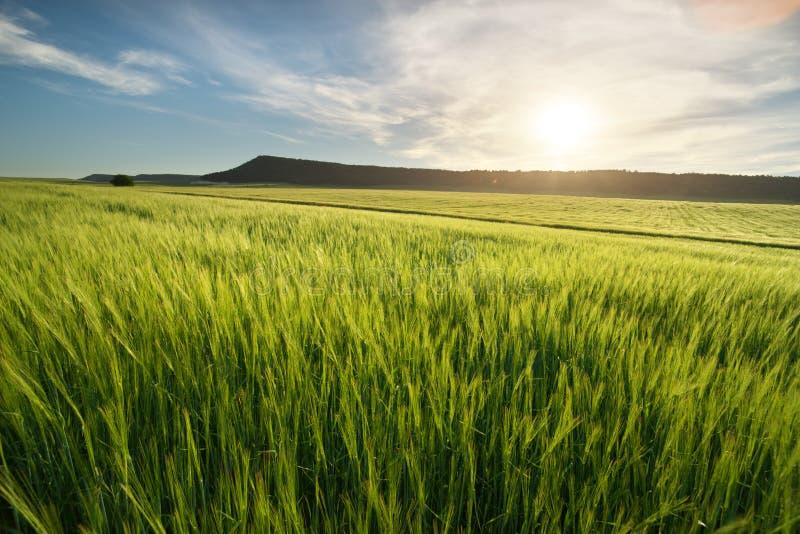 Wiese des Weizens lizenzfreie stockfotos