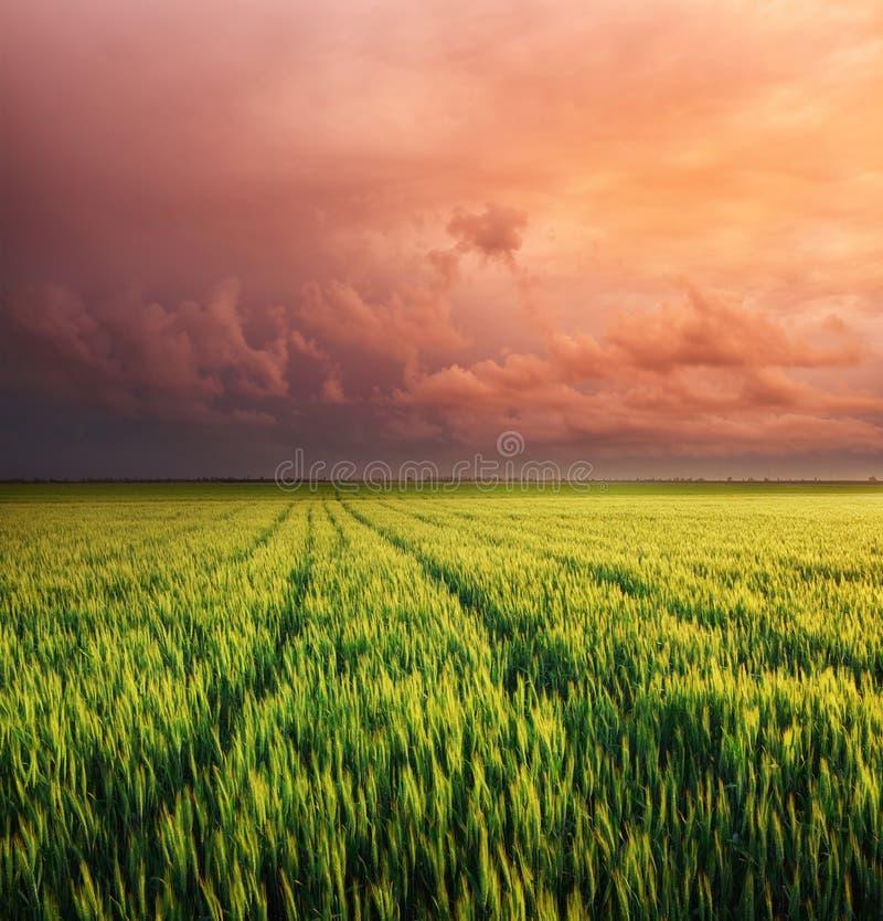 Wiese des Weizens stockfotografie