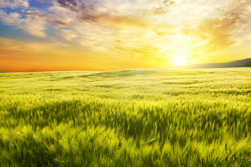 Wiese des Weizens auf Sonnenuntergang stockfotografie