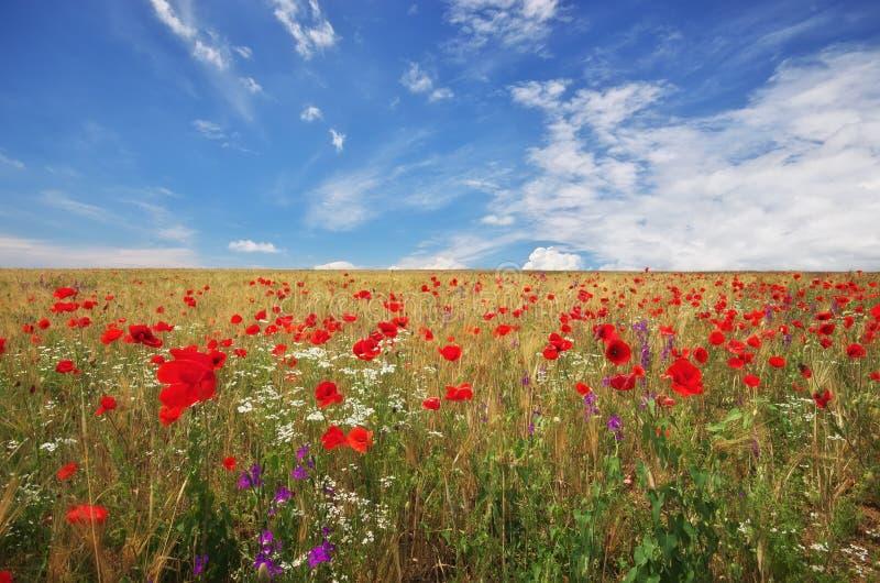 Wiese des Weizens und der Mohnblume stockbild