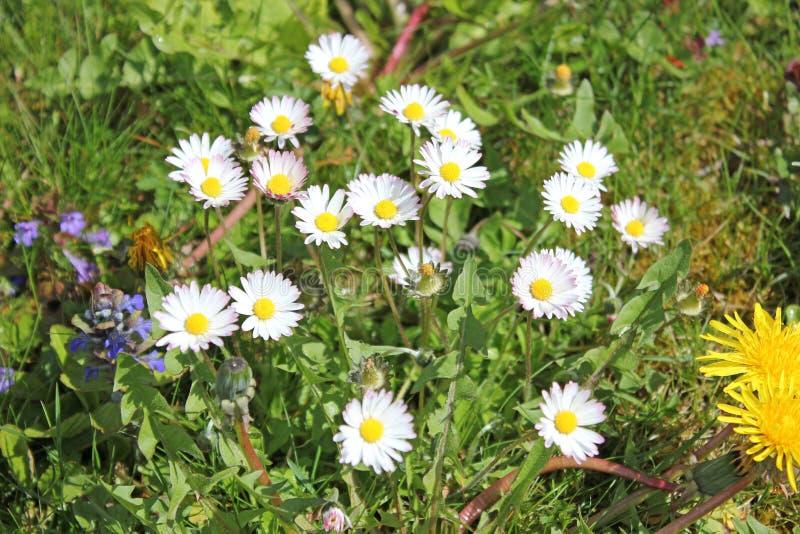 Wiese mit Gänseblümchen im Sommer lizenzfreies stockbild