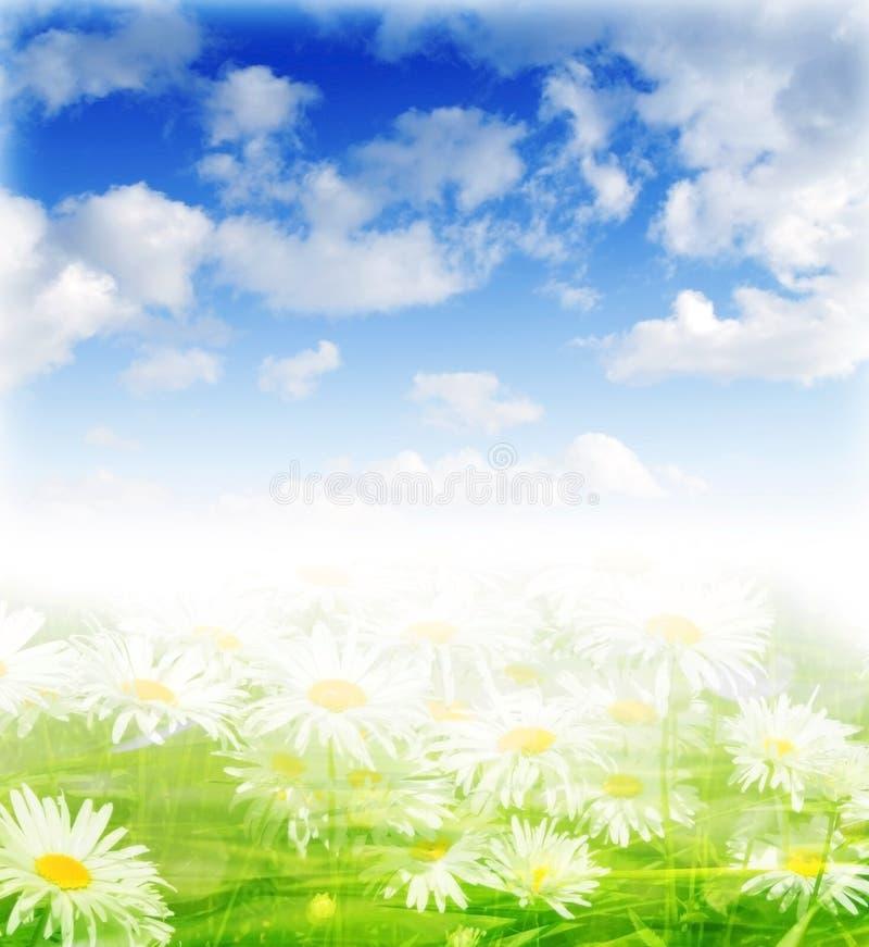 Wiese mit Gänseblümchen am sonnigen Tag lizenzfreie stockfotografie