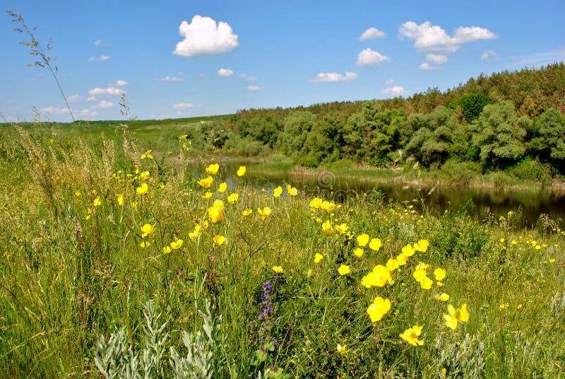 Wiese mit gelben Blumen auf der Bank des Flusses stockfotos