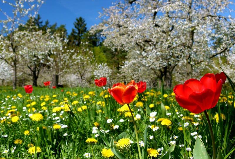 Wiese mit roten Tulpen und gelber Löwenzahn und Kirschbäume in voller Blüte stockfotos