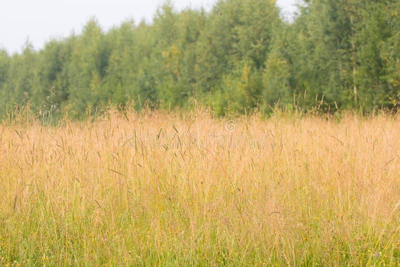 Wiese mit trockenem Gras auf Wind am Sommer nahe grünen Bäumen stockfotografie