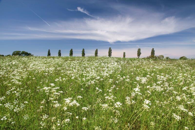 Wiese Mit Weißen Blumen Vor Einer Baumreihe Stockfoto - Bild von ...