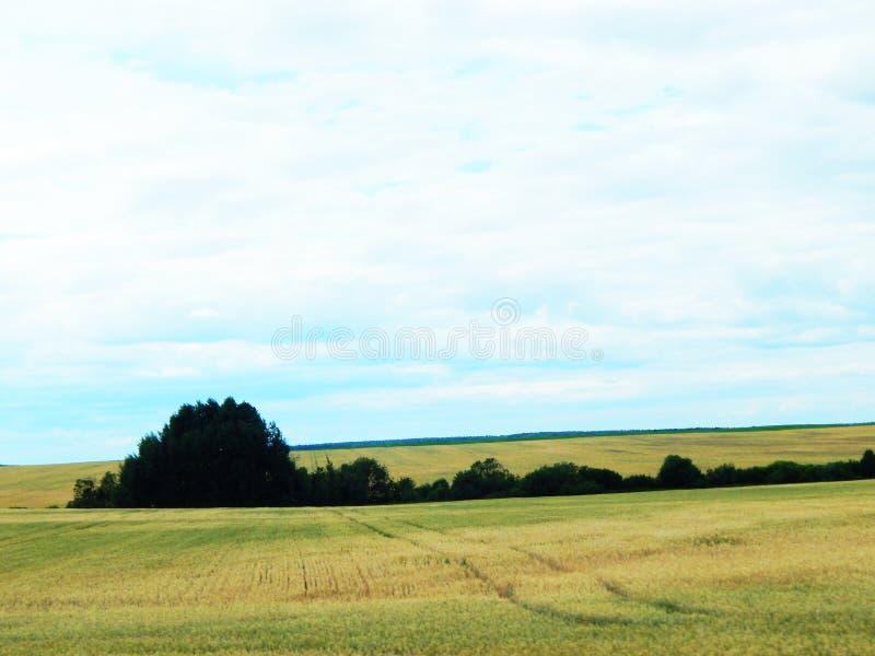 Wiese mit Weizen nahe dem Wald stockfotos
