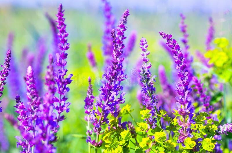 Wiese mit wilden purpurroten und violetten Blumen stockfotografie