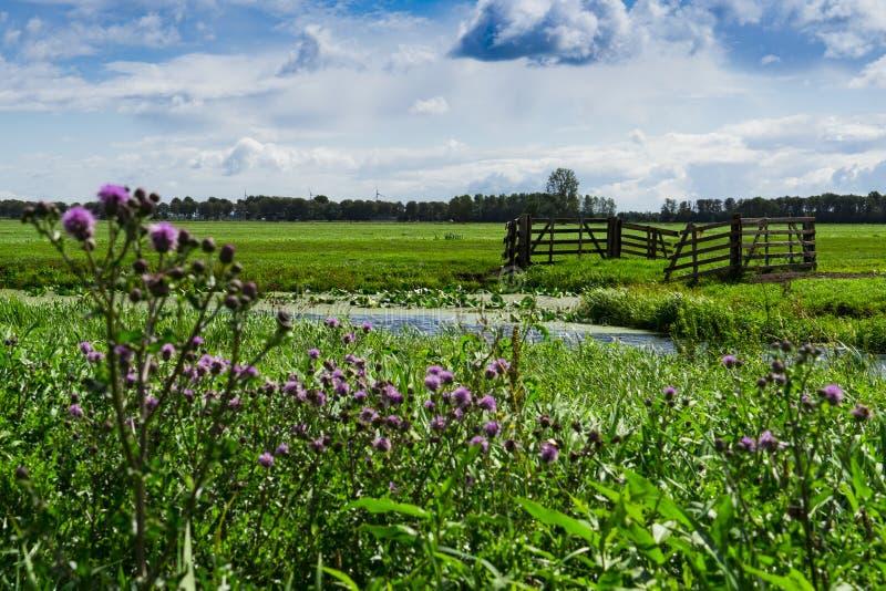 Wiese mit Zaun und purpurroten Blumen in Alblasserdam, Mühle von Bleskensgraaf, die Niederlande lizenzfreie stockbilder