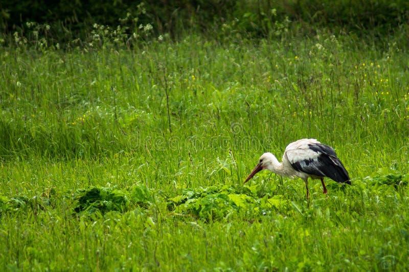 Wiese Storch auf royaltyfri foto