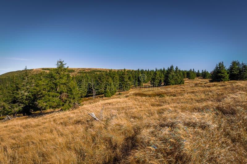 Wiese unter dem Dlouhe-strane Spitzenreservoir mit gelbem Gras und grüne Koniferenbäume in Jeseniky stockfoto