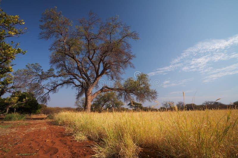 Wiesen-Afrikanersavanne stockfotografie