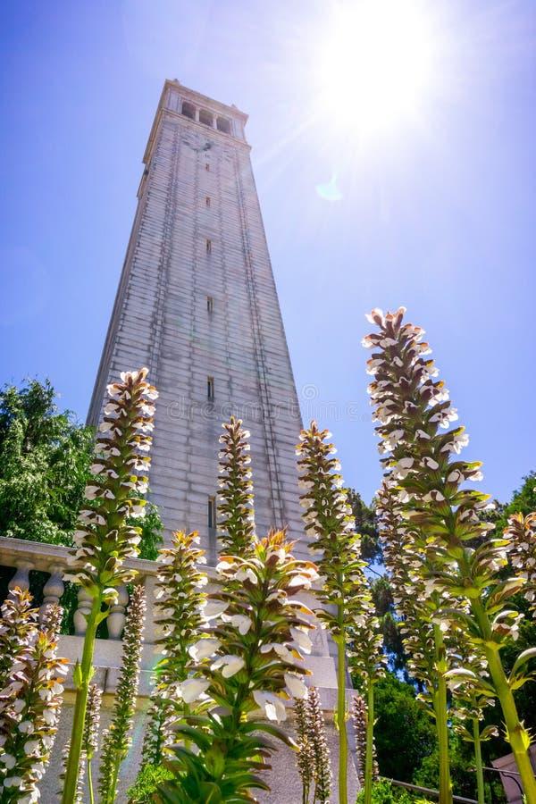 Wiesen-Bärenklau Acanthus mollis Blumen, die an der Basis von Sather-Turm der Glockenturm blühen; Hintergrund des hellen Sonnensc lizenzfreies stockbild