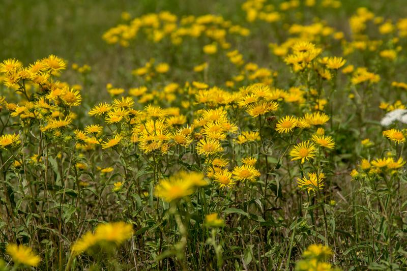 Wiesen-Butterblume Ranunculus Acris lizenzfreie stockfotografie