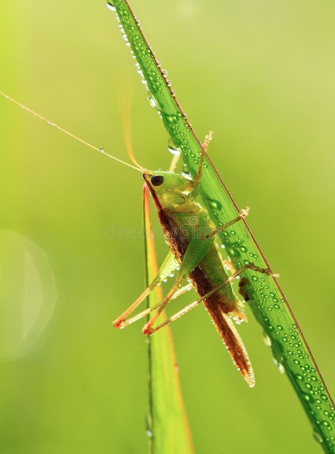 Wiesen-Heuschrecke auf grünem Gras lizenzfreie stockfotografie