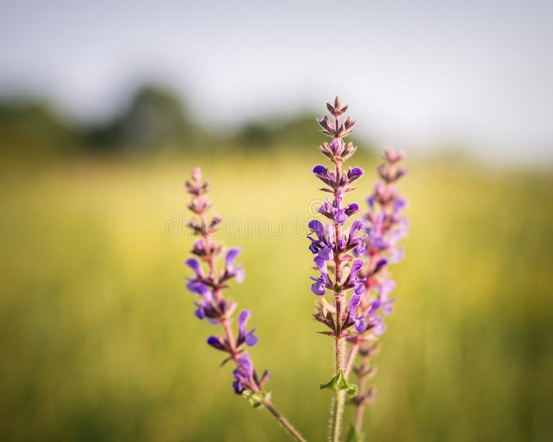 Wiesen-Salbei unter sonnigem Wetter lizenzfreies stockbild
