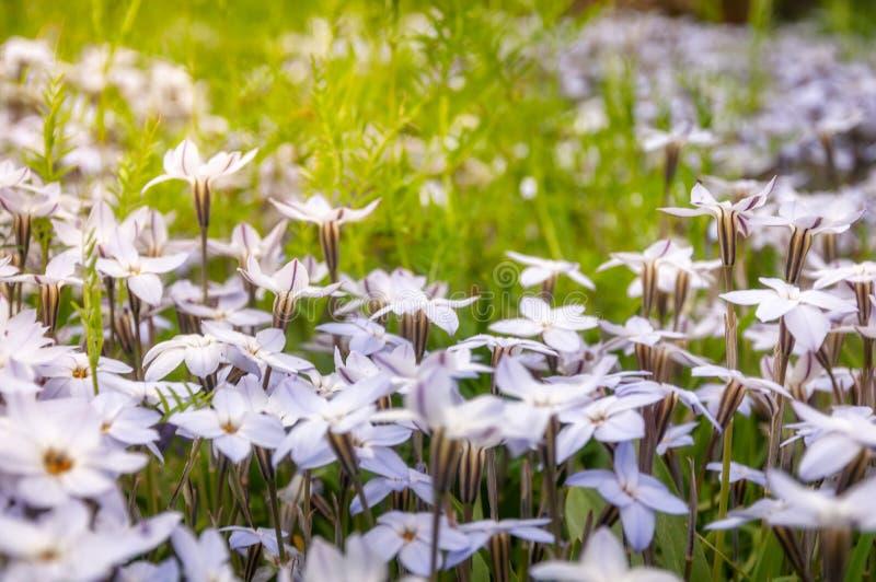 Wiesennahaufnahme mit weißen Stern-Blumen stockbild