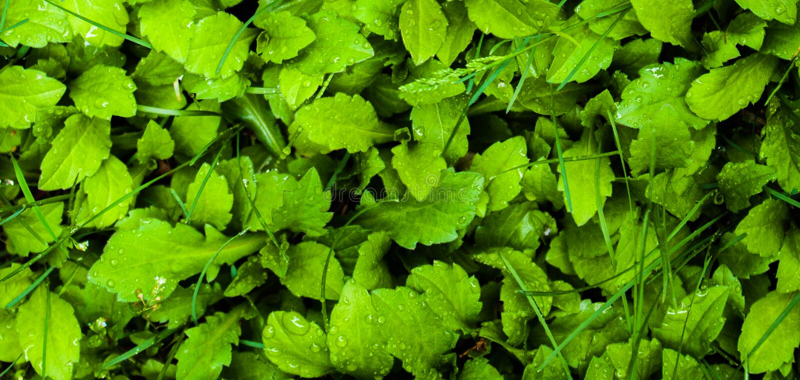 Wiesenrasen; Sward; Greensward; Grasplan; Rasen stockfotos