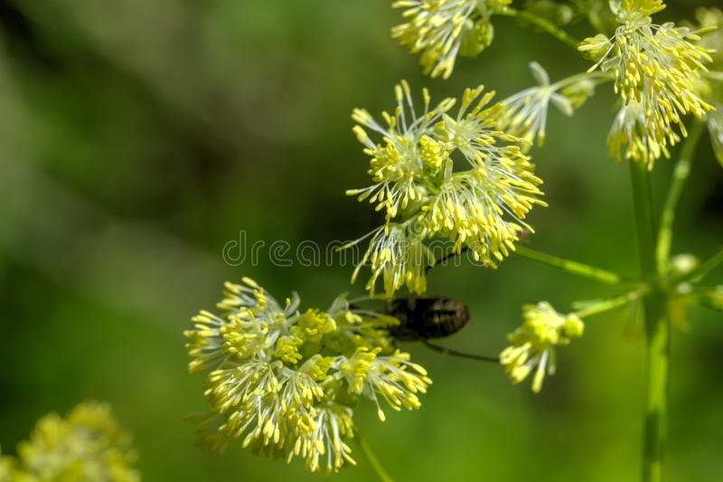 Wiesenraute Wilde Blume stockbild
