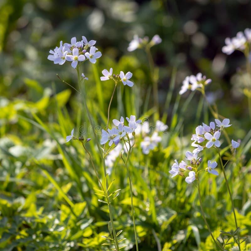 Wiesenschaumkräuter Cardamine pratensis, das im Frühjahr Sonnenschein an der Birke Grove in East Sussex blüht lizenzfreies stockfoto