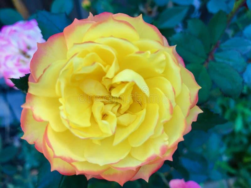 Wiesza? kwitnie w wintergarden pi?knych colours zdjęcie stock