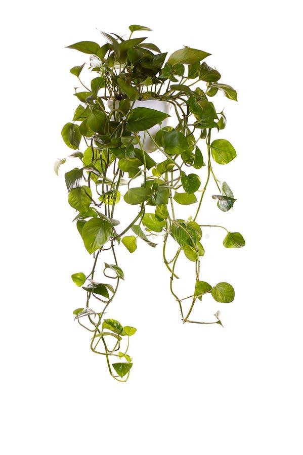 wieszanie rośliny rosną zioło zdjęcie royalty free