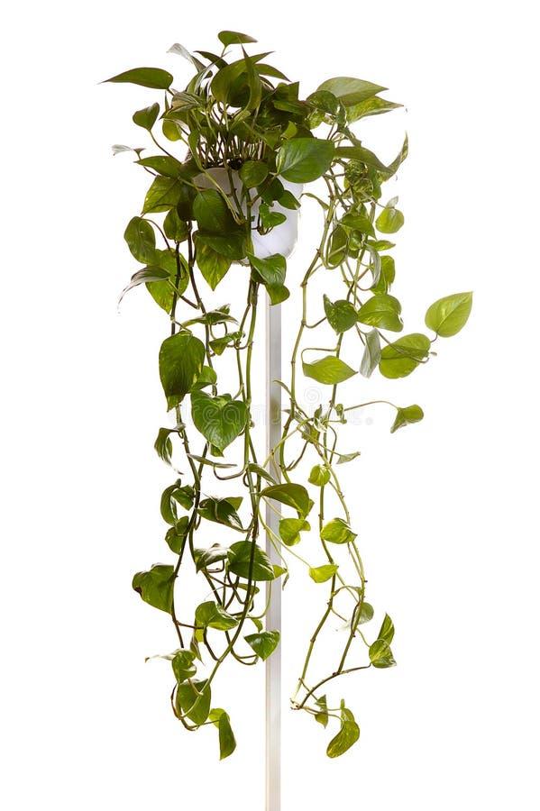 wieszanie rośliny rosną zioło zdjęcia stock