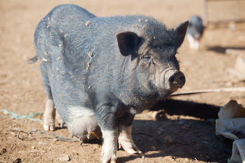 Wietnamczyk dojrzała żeńska świnia zdjęcie stock
