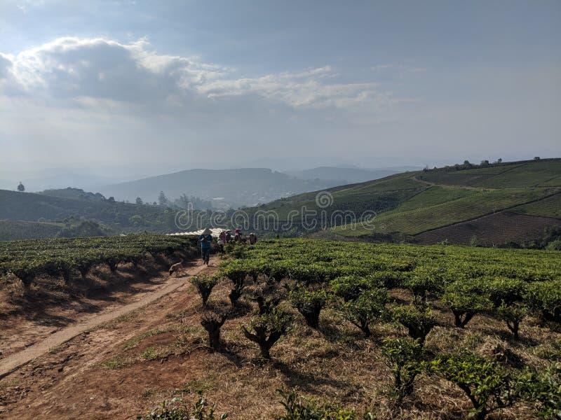 Wietnamscy rolnicy iść do domu przez herbacianych poly obrazy stock