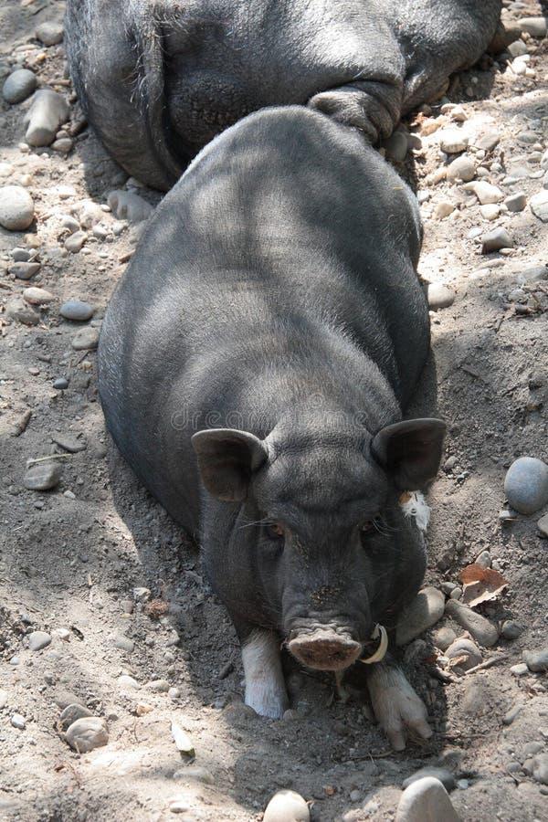 Wietnamska świnia obrazy stock