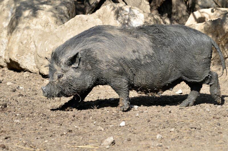 Wietnamska brzuchata świnia obrazy royalty free