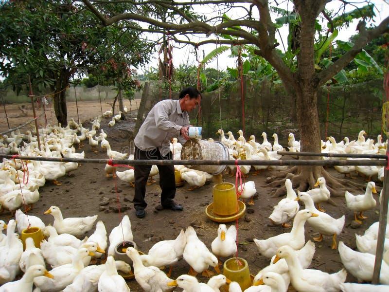 Wietnamski rolnik karmić kaczki ryż obrazy royalty free