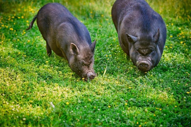 Wietnamskie kałduniaste czarne świnie Pasa na gospodarstwie rolnym na cle zdjęcia royalty free