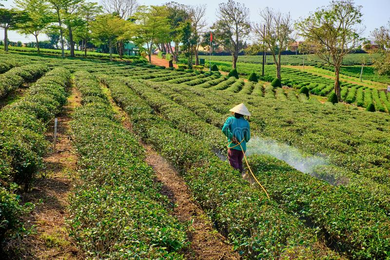 Wietnamskie kobiety pracuje w herbacianych polach fotografia stock